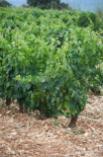 Aspecto de las viñas en el mes de Julio