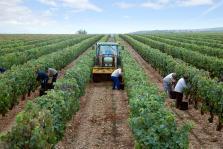 Vista panorámica de nuestras viñas con vendimiadores